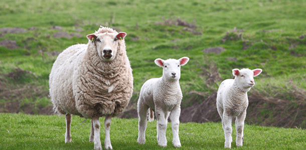 Trial Summary: Orego-Stim Improves Ewe Performance During Late Preganancy And Early Lactation