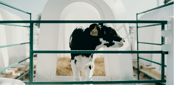 Trial Summary: The Effect of Orego-Stim on Cryptosporidia in Calves