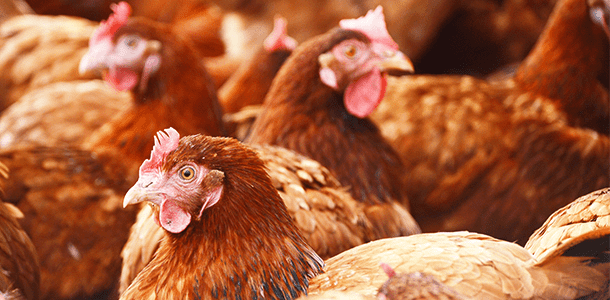 Trial Summary: Orego-Stim Supports Laying Hen Performance, Reducing Mortality