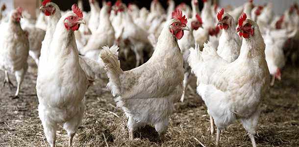 Trial Summary: Orego-Stim Supports Optimal Gut Health In Broilers